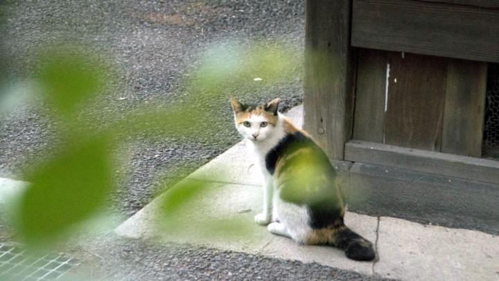 かぎしっぽ猫
