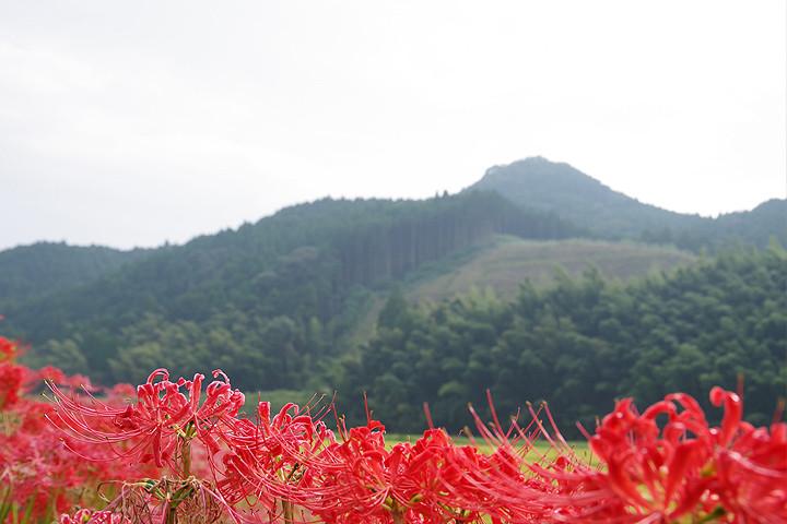 彼岸花(ひがんばな)は、田畑の周辺などに咲く美しい花。